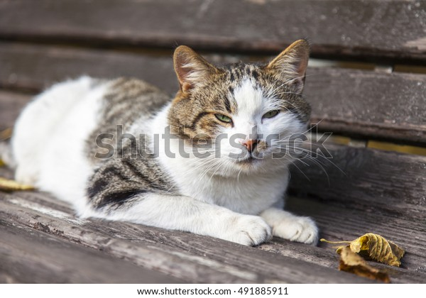 Excellent Cat Lies On Garden Bench Autumn Stock Photo Edit Now 491885911 Inzonedesignstudio Interior Chair Design Inzonedesignstudiocom
