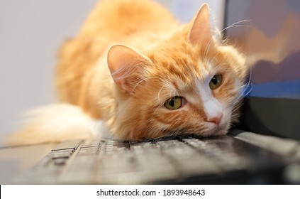Cat lies on laptop and looks in front of camera. Tired, sad and sleepy cat. Remote work.