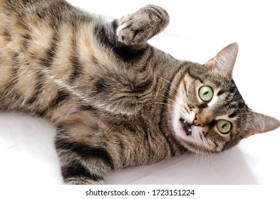 The cat lies on a white background, its head is turned to the camera, its mouth is ajar. Eyes are looking at the camera.