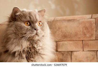 cat, lilac British longhair