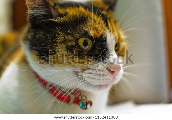 Cat look concentrated on a point with rattle collar