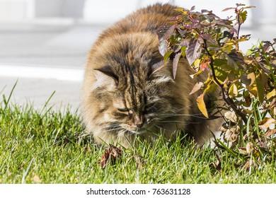 Cat looking autumnal leaves in the garden. Siberian brown mackerel