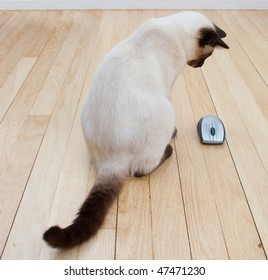 Cat looking at a computer mouse laying on a hardwood floor