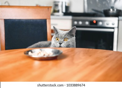 cat is looking at food watches over food, sly beautiful British gray cat, close-up, cat looks out from under table, cat steals food