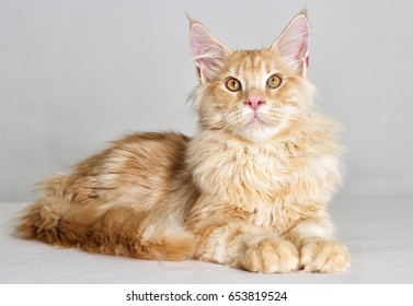 cat looking at full height, a Maine Coon breed on a gray background