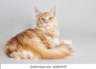 cat looking at full height, a Maine Coon breed on a gray backgro