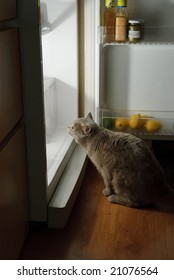 cat looking for meat in the refrigerator