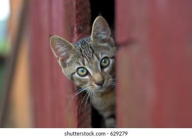 Cat looking out of barn door
