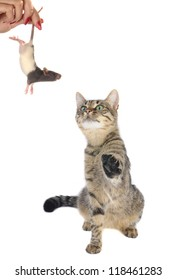 cat looks at a mouse