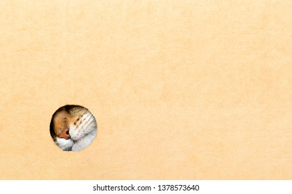 The cat looks out of the box. Cat nose in a round hole. Concept homeless, curious animal. Copy space.