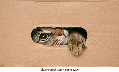 Cat looks out the slit cardboard box