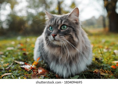 The cat looks to the side and sits on a green lawn. Portrait of a fluffy gray cat with green eyes in nature, close up. Siberian breed