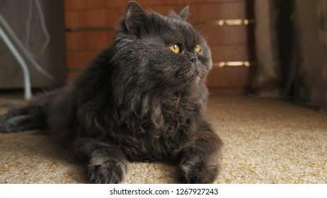 Cat looks in the window, lies on the carpet and wags its tail close up