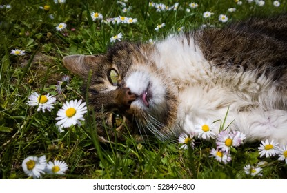 Cat lying in the grass within daises. Slovakia