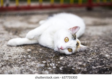Cat Lying And Looking At Camera.