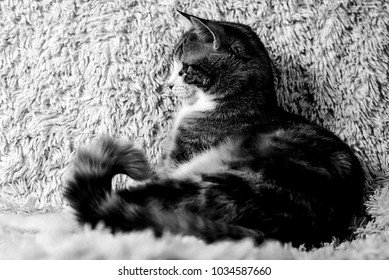 Cat lying on bed at home black and white poster