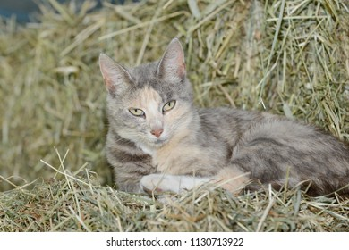 cat lying on hayloft