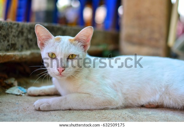 Cat lying on the street, white, yellow eyes.