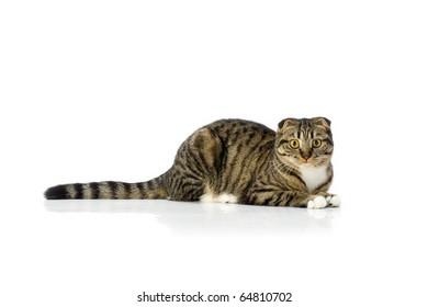 Cat lying on white isolated