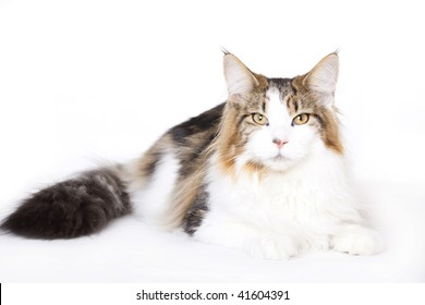 Cat, Maine Coon