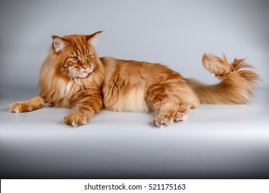 Cat maine coon