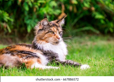 Cat (Maine Coon)