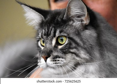 cat of Maine Coon breed