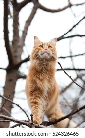 Cat Maine Coon in a tree