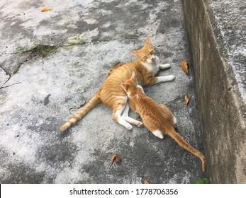 Cat mother is seeding kitten by milk
