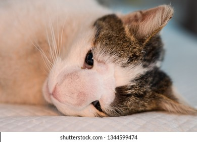 Cat with nasal tumor prepared for surgery