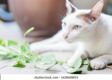 Cat nip.White thai cat smelling green fresh catnip leaf and root at home.Herbal leaf cat nip for feel good and relaxation.