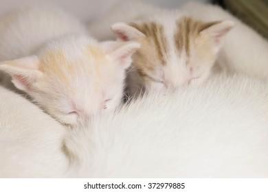 Cat Nursing her Kittens.focus selective