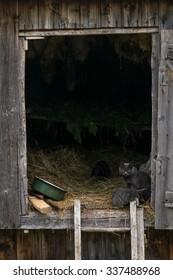 Cat nursing kitten at a barn entrance