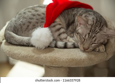 Cat ocicat in Christmas with red hat, peacefully sleeping on his own place.