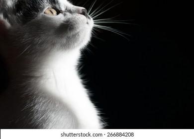 Cat on black background