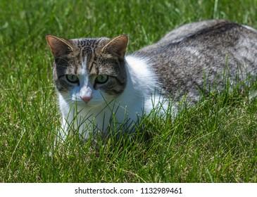 Cat on grass - Lombard, Illinois, July 7, 2018
