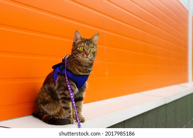 Cat on harness for a walk against orange wall in natural light
