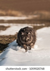 Cat on the hunt outdoors, in the snow. Alert expression, wide-eyed and ready to pounce. Playing in the snow.  Norwegian forest cat