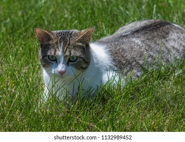 Cat on lawn - Lombard, Illinois, July 7, 2018