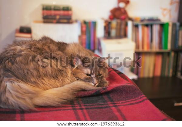 cat-on-plaid-blanket-blurred-600w-197639