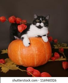 Cat on a pumpkin in the autumn still life.