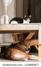 Cat on a table with a dog on a wooden floor. Laos, South East Asia.