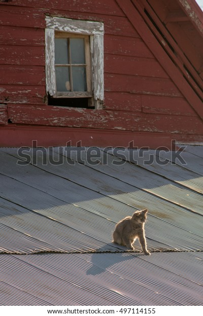 Cat on a tin roof of a red barn