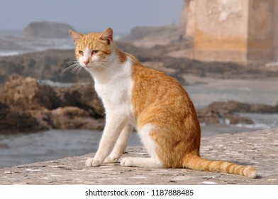 Cat on a wall in the port of Essaouira, Morocco