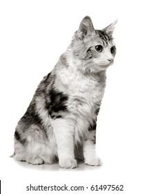 cat on a white background (breed - kurilian bobtail)