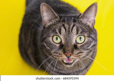 Cat with open mouth on a yellow background