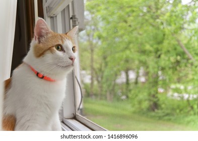 Cat with Orange Collar Looking Out the Window