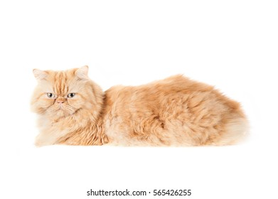 Cat, orange Persian cat On a white background