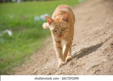 Cat outdoor walking in sunlight
