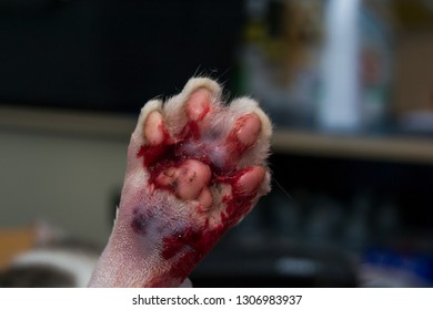 cat paw with bite wound, infected and edema, pus